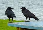 ravens-236333_150